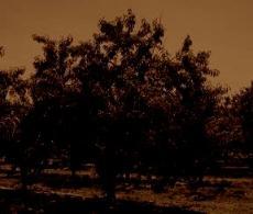 peach_treesepiadark-230x195
