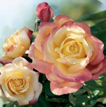 rosebush5-207x210